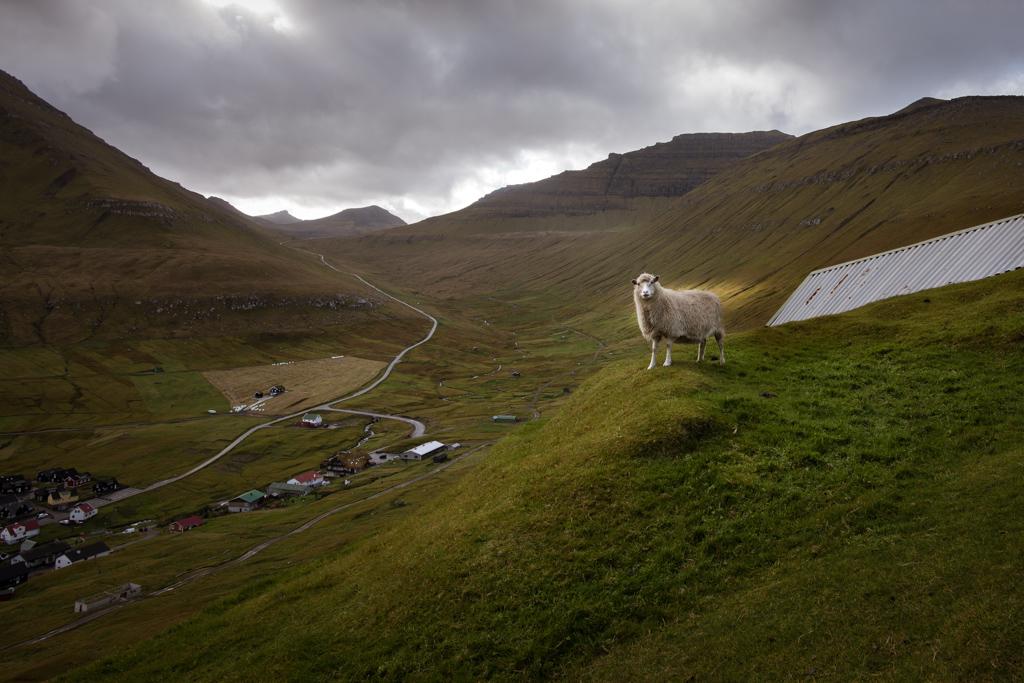 Sauer, grønne åser og fjell på Færøyene